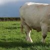 2006 : le GIE s'engage dans le contrôle post sevrage des génisses d'élevage